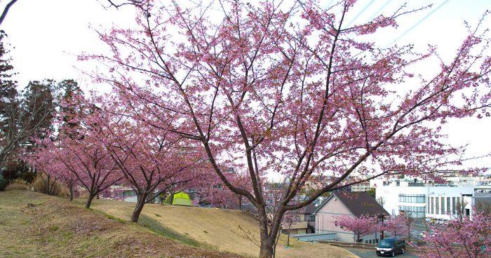 松ヶ崎城 河津桜